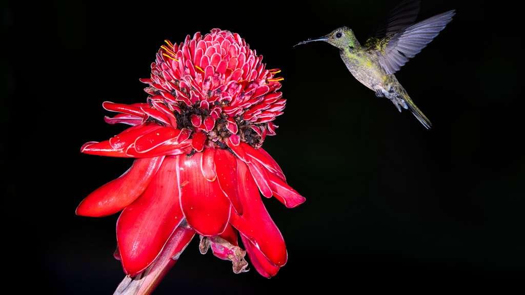 Le Colibri de Rivoli, le voltigeur virtuose