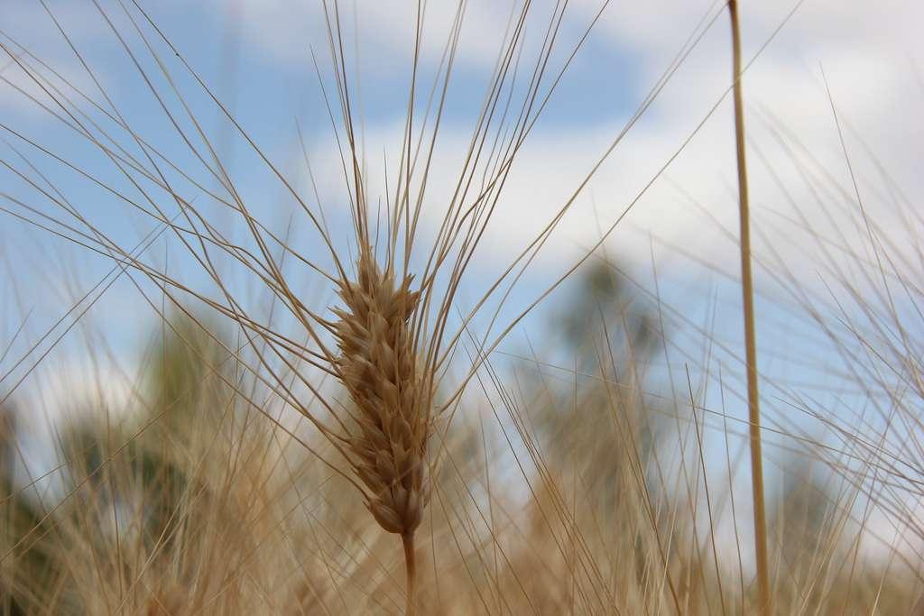Le blé dur est particulièrement sensible aux aléas climatiques. © Bioversity International, Flickr