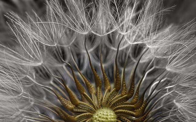 Gros plan sur les fruits et les graines d'un séneçon commun, grossis 2 fois. © Havy Sarfaty, Eyecare Clinic