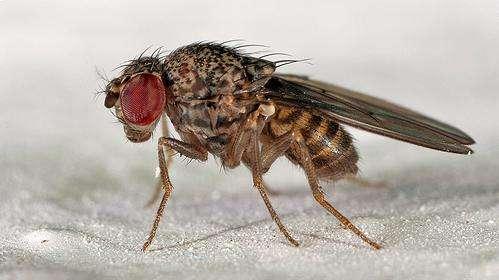 La mouche drosophile (Drosophila melanogaster) est un modèle animal très utilisé dans la recherche en génétique. Elle possède comme nous le gène ABCC9, dont la variante explique le plus grand besoin de sommeil. © Marcos Freitas, Flickr CC by-nc 2.0