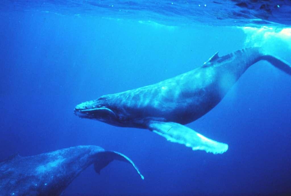 Voici le chant à 52 Hz de la baleine la plus mystérieuse au monde, qui est peut-être apparentée à cette baleine à bosse. La fréquence centrale se situe à 51,75 Hz, et le son a été accéléré dix fois. © Image et son : NOAA, DP
