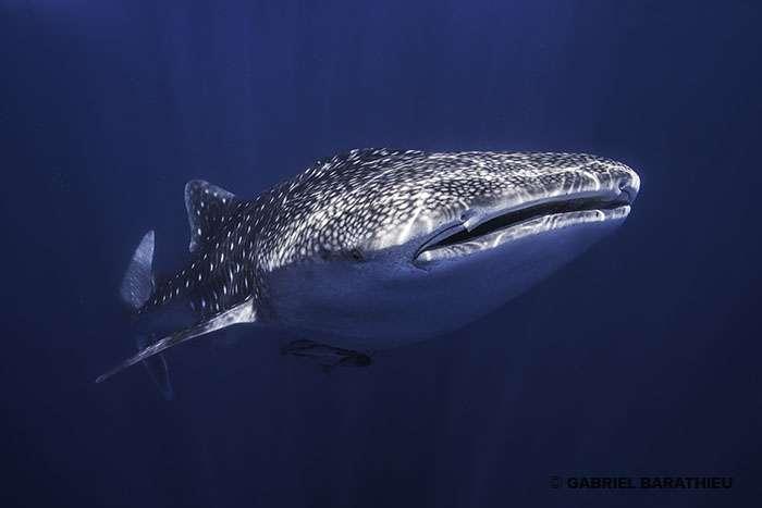 Requin-baleine Rhincodon typus, le plus gros poisson du monde, 20 mètres de long et jusqu'à 34 tonnes. © Gabriel Barathieu, tous droit réservés