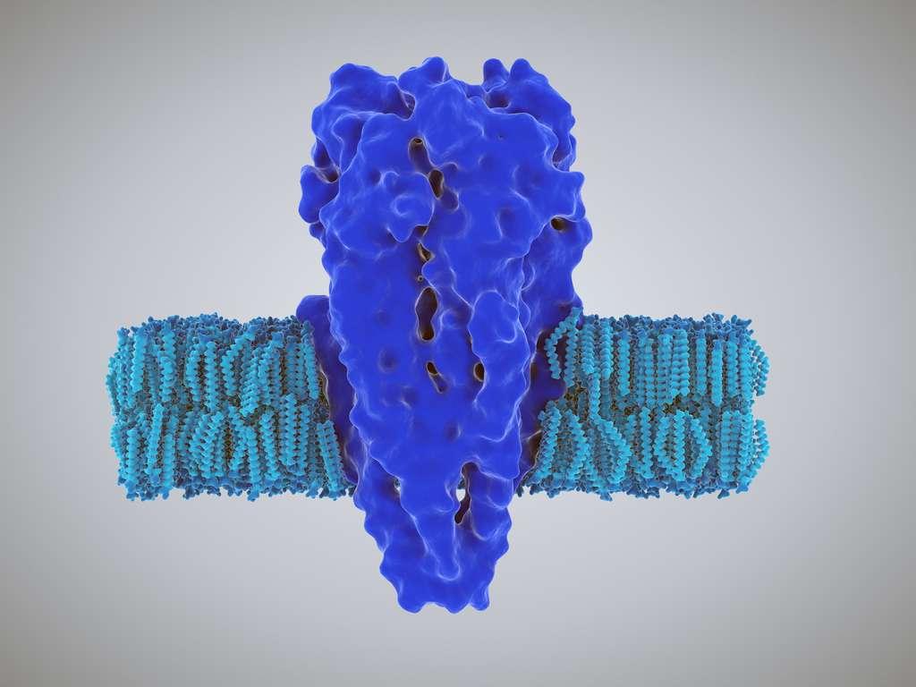 Au niveau des synapses, l'acétylcholine libérée par le neurone présynaptique se fixe sur son récepteur, présent sur le neurone post-synaptique. Il existe deux types de récepteurs de l'acétylcholine : nicotiniques ou muscariniques. © shurik, Fotolia