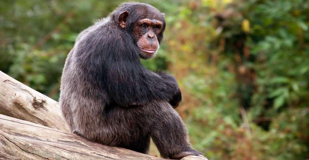 Chimpanzé. © E01, CC BY-NC 2.0