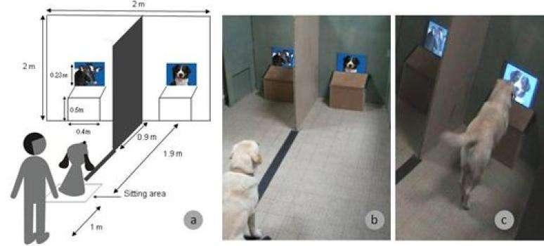 Le chien est assis devant l'expérimentateur, sur une ligne entre les deux écrans (a et b). Lorsqu'on lui en donne l'ordre, le chien exprime son choix en allant à un écran donné et met sa patte devant l'image choisie (c). © Springer Science, Business Media