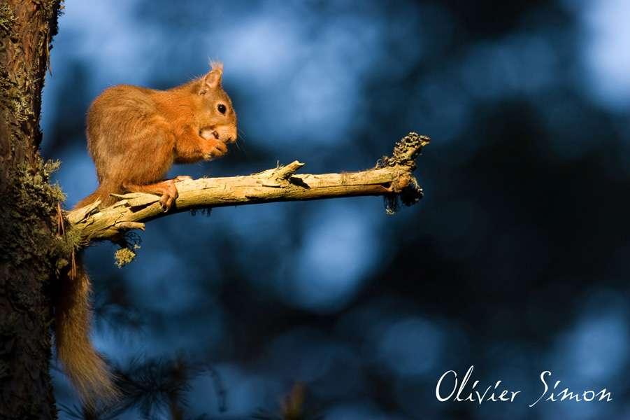 Ecureuil roux sur une branche