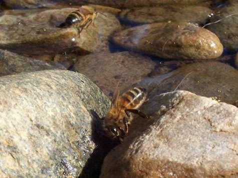 Abeilles en train de boire. Les pollutions de l'air et de l'eau, par les pesticides notamment sont suspectées de contribuer à affaiblir l'immunité des abeilles, guêpes et de nombreux autres insectes dont les populations sont en régression. © Fir002 Licence de documentation libre GNU, version 1.2