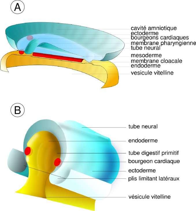 Figure 4. A : stade disque embryonnaire (20 jours de développement embryonnaire). Le cœur apparaît primitivement sous la forme de deux bourgeons mésodermiques situés en avant du tube neural et de la membrane pharyngienne (bouche primitive de l'embryon, encore close). B : formation des plis limitant latéraux (21-22 jours de développement embryonnaire). Le développement de l'embryon, et en particulier du syste nerveux central, entraîne le soulèvement de la partie dorsale par rapport à la partie ventrale. Mécaniquement, les bourgeons cardiaques vont gagner la ligne médiane ventrale et fusionner. © Hugues Jacobs