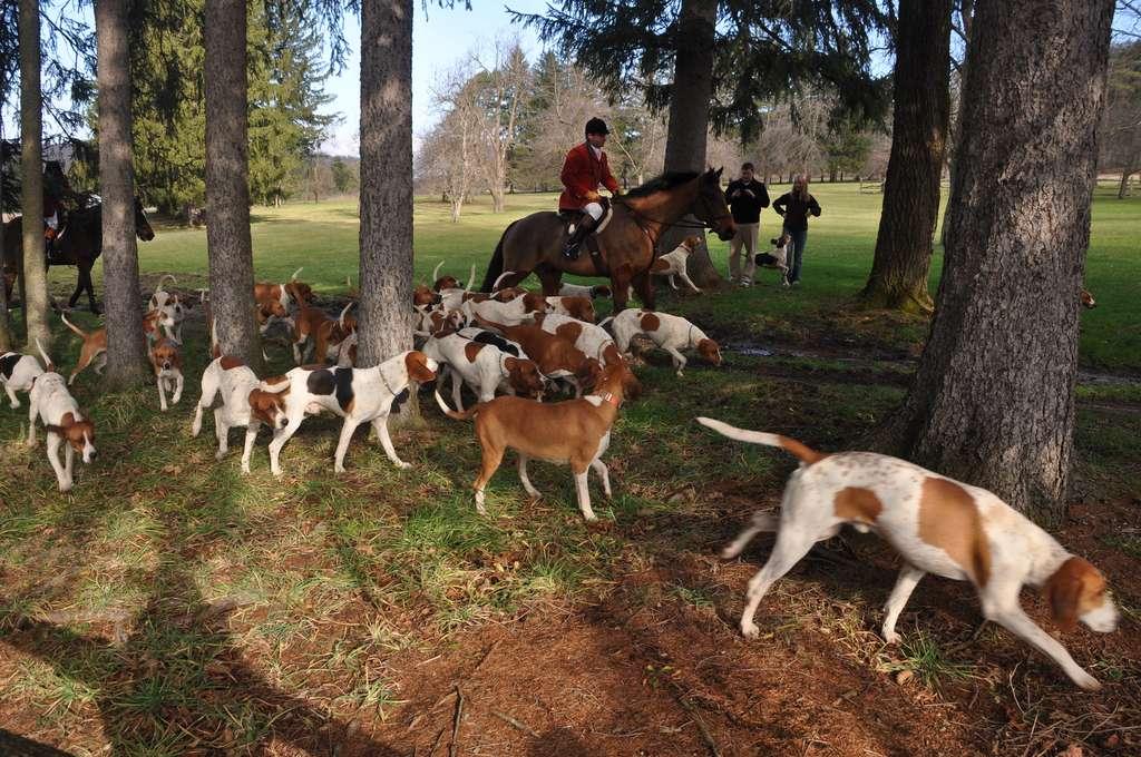 Le foxhound anglais chasse en meute (petite et grande vénerie). © Bethany, Flickr