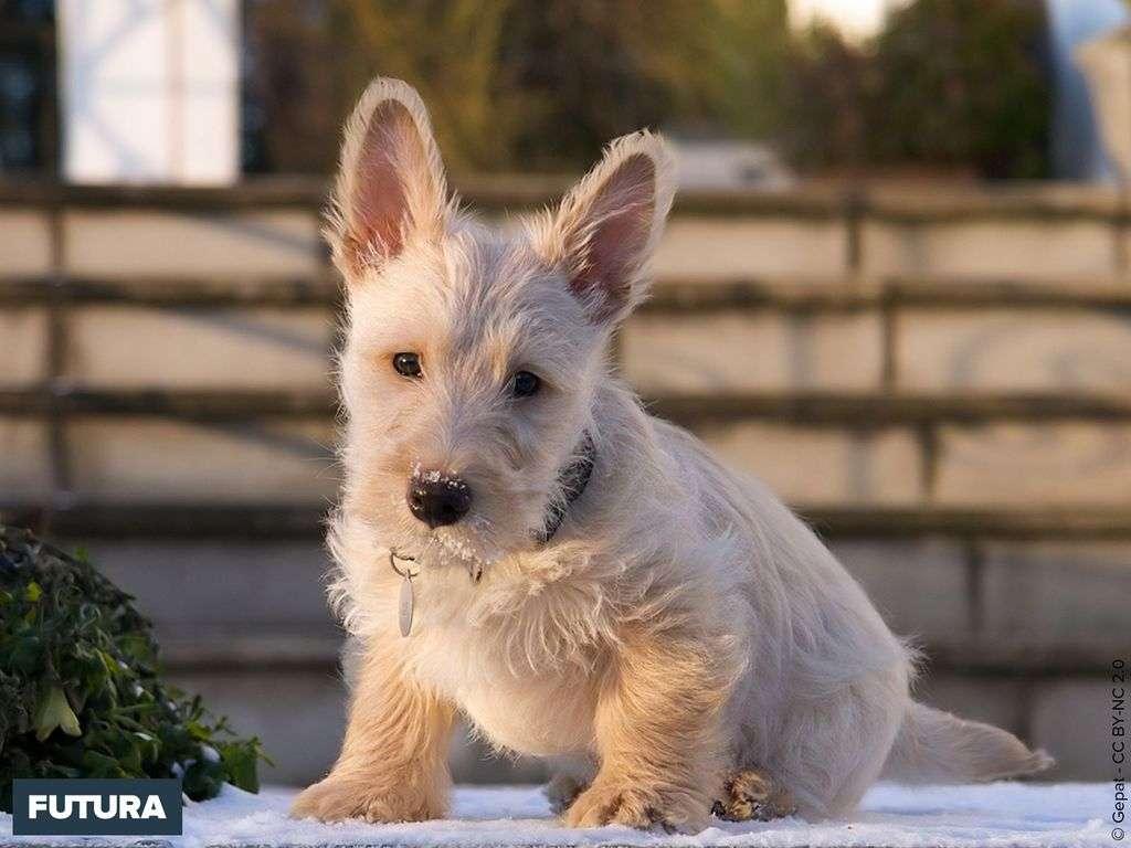 Scottish terrier, un chien fidèle et courageux