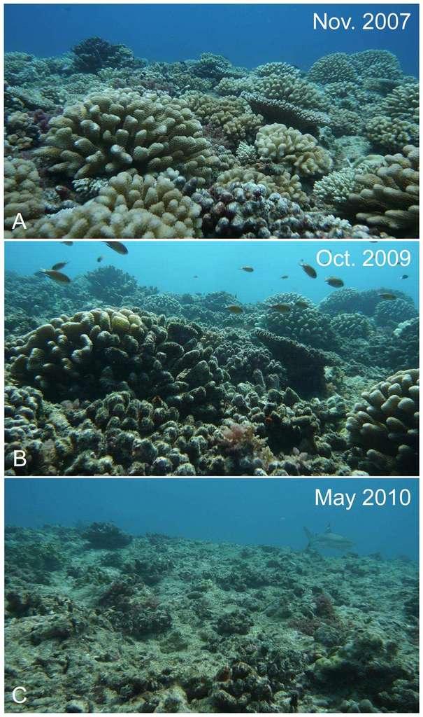 Disparition du récif de Moorea. Sur l'image du haut (A), les récifs sont couverts de coraux à 40 %. L'image du milieu (B) montre que les algues ont colonisé les squelettes des coraux tués par Acanthaster planci. La couverture corallienne n'est plus que de 10 %. Sur l'image du bas (C), les coraux partiellement morts ont été emportés lors du passage d'un cyclone, il reste moins de 5 % du récif. © Mohsen Kayal, Plos One