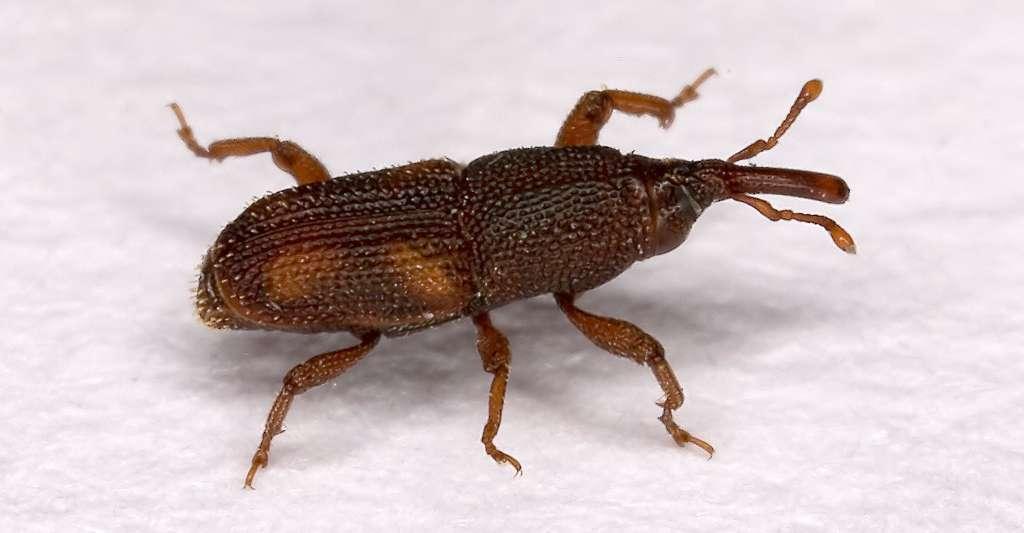 Charançon sitophilus oryzae. © Olaf Leillinger CC BY-SA 2.5