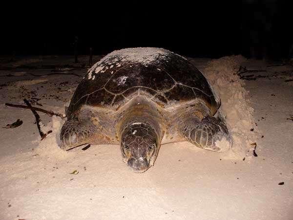 La tortue verte peut pondre tous les trois à six ans, sur la plage où elle est née. Une couvée contient en moyenne une centaine d'œufs. © Copleys, Dinosoria, GNU 1.2