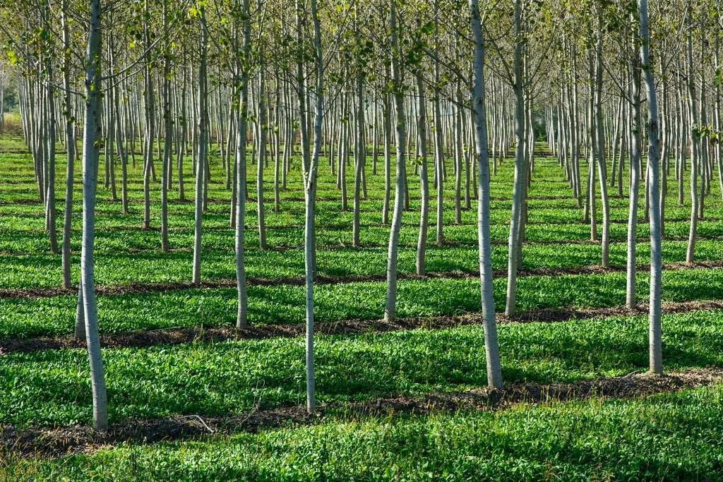 La plantation d'arbres peut être soustraite du CO2 émis par les autres activités humaines pour amoindrir le calcul net des émissions. © PHOTOERICK, Adobe Stock