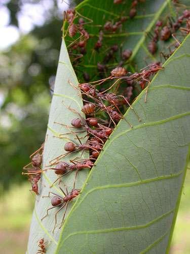 Les fourmis tisserandes installent leurs nids entre des feuilles qu'elles replient pour former la poche qui abritera la société. Ce travail nécessite une coopération sophistiquée entre ouvrières. © C. Leroy