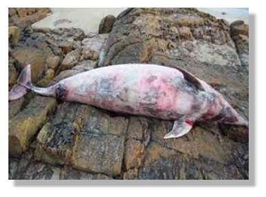 Un dauphin qui n'a pas résisté
