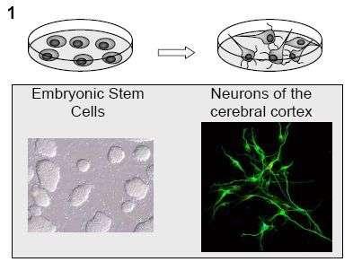 Cellules souches embryonnaires et neurones du cortex cérébral. Crédit ULB.