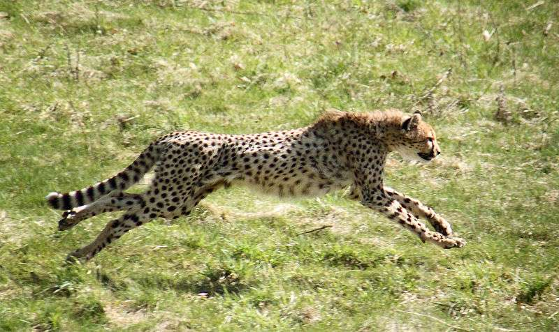 Guépard en chasse. © Malene Thyssen, Creative Commons Attribution-Share Alike 3.0 Unported license