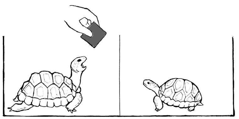 Schéma du protocole expérimental pour mettre en évidence l'éventuelle contagion du bâillement chez la tortue charbonnière à pattes rouges. © Anna Wilkinson, Natalie Sebanz, Isabella Mandl, Ludwig Huber/Current Zoology