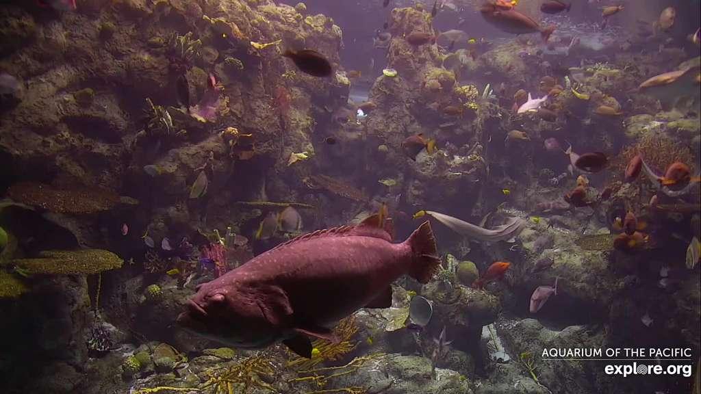 Un aperçu du récif tropical de l'Aquarium du Pacifique. © Explore.org
