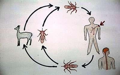 Cycle de transmission schématique de T. b. gambiense par les glossines à l'homme. © Gérard Duvallet