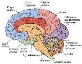 Le pont et le bulbe rachidien (en orange sur ce schéma, entre le thalamus et la moelle épinière) font partie des structures les plus anciennes du cerveau. © DR