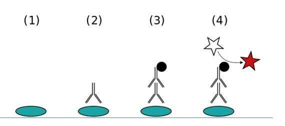 Test Elisa indirect. En cas de présence des anticorps dirigés contre le VIH-1 ou le VIH-2 sont présents dans le sang du patient, alors le milieu changera de couleur à la fin de l'opération, marquant une présence du VIH datant d'au moins trois mois. © Jeffrey M. Vinocur, Wikipédia, cc by 2.5
