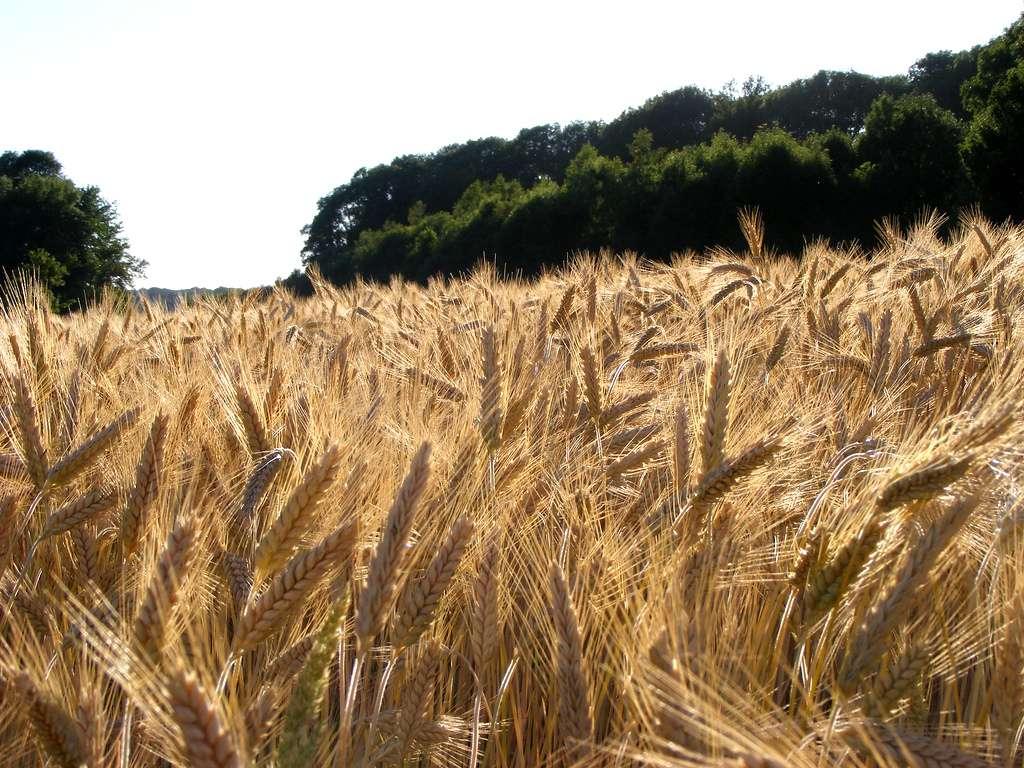 La biomasse peut-elle représenter un relais pour le pétrole ? © Humpapa, Flickr CC by nc 2.0