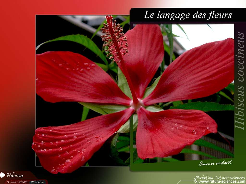 Hibiscus, amour ardent
