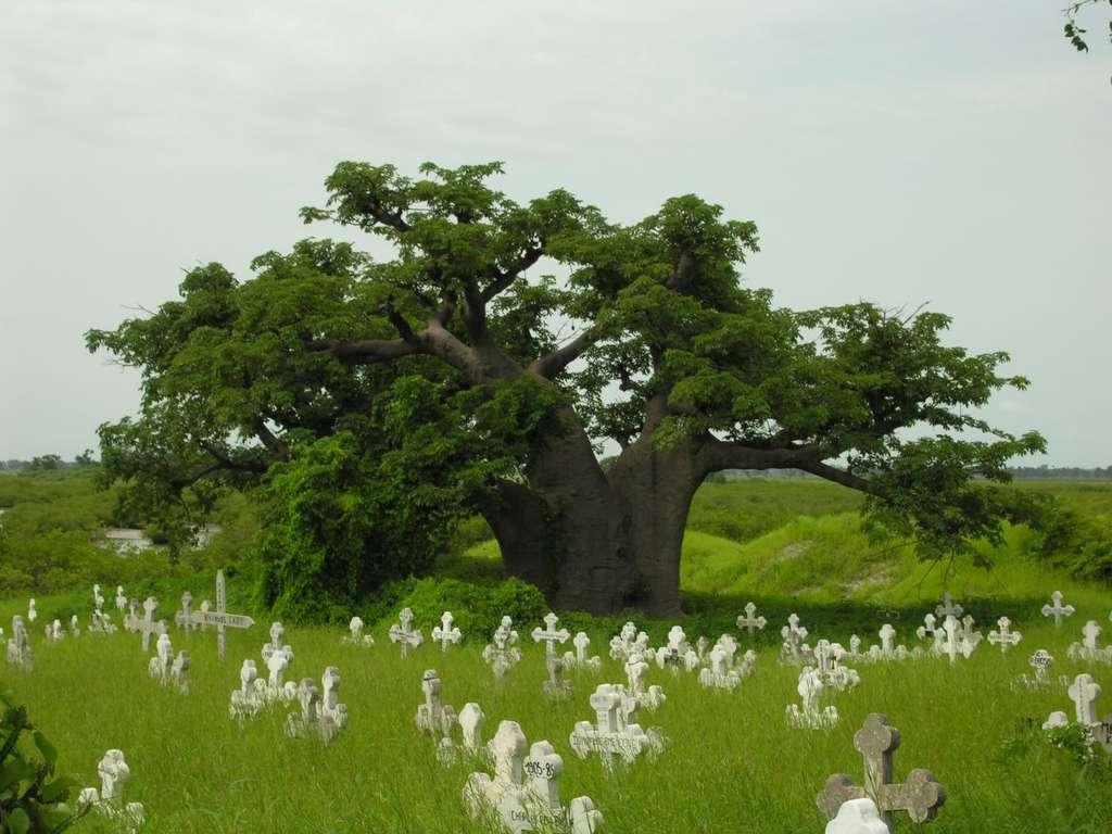 Baobab de Joal-Fadiouth, au Sénégal