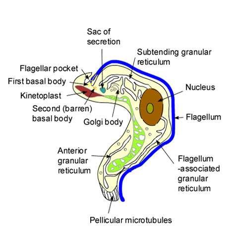 Trypanosome, détail de la structure du Protozoaire. Reproduction et utilisation interdites