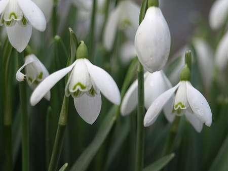 Le perce-neige, une fleur délicate qui apparaît un peu avant le printemps. © Erik Jørgensen, Flickr - Licence Creative Common by-nc-sa 2.0
