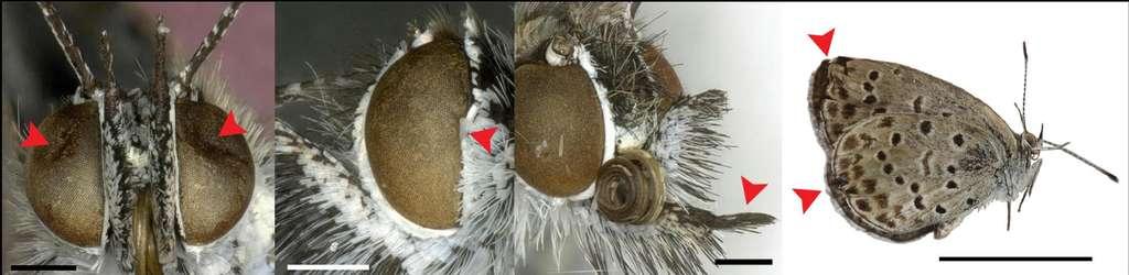Ces déformations morphologiques, indiquées par des flèches rouges, ont été recensées chez des papillons Z. maha prélevés à proximité de la centrale de Fukushima-Daiichi 2 mois après la catastrophe. Les deux images de gauche montrent des malformations au niveau des yeux. La troisième photographie présente un palpe anormal tandis que la quatrième expose des ailes à la forme inhabituelle. Les barres d'échelle correspondent respectivement à 0,5 mm pour les trois premières images et 1 mm pour celle de droite. © Hiyama et al. 2012, Scientific Reports