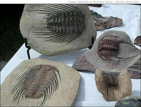 Des trilobites du Maroc. Crédit : Geoffrey Notkin