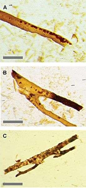 Structures retrouvées dans les os d'un fossile de Tyrasonnaurus rex, en 2005. Les formes tubulaires seraient des vaisseaux sanguins et les structures internes des restes d'hématies. © Plos One / Université de Caroline du Nord