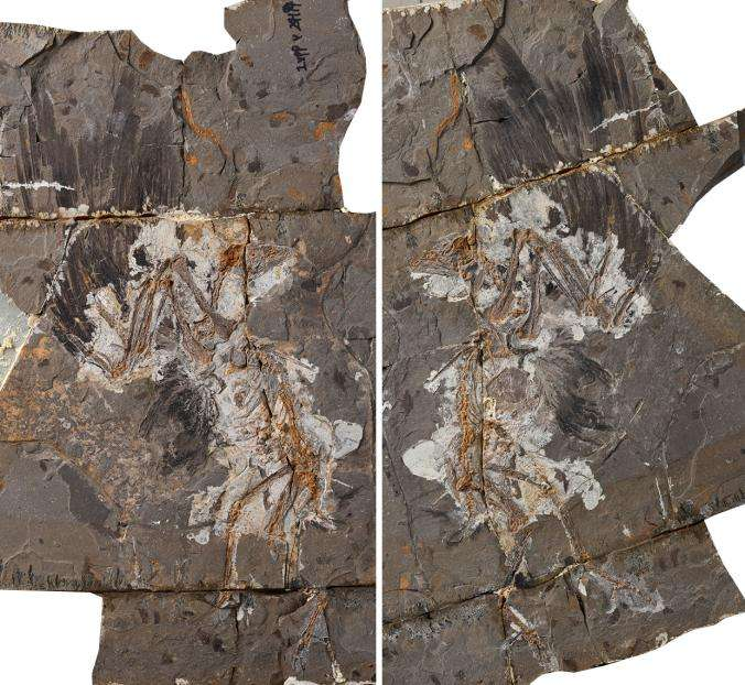 Fossile d'un oiseau du Crétacé découvert en Chine. Le spécimen appartient à une espèce nouvellement décrite, nommée Jinguofortis perplexus, où Jinguofortis provient du chinois jinguo signifiant « guerrière » et du latin fortis signifiant « courageux », pour rendre hommage aux femmes de science, tandis que perplexus rappelle son côté déroutant. © Wang Min et al., 2018, Pnas