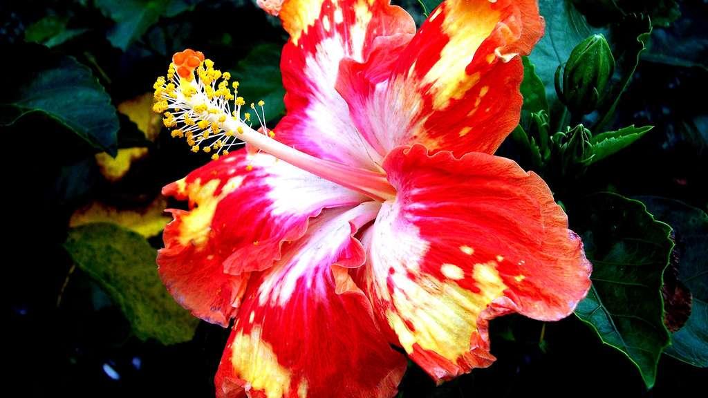 Une fleur d'hibiscus rouge et jaune