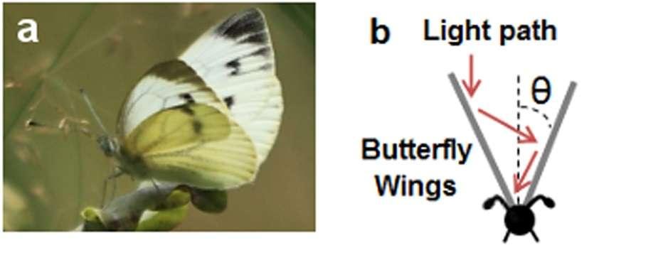 Les chercheurs ont mesuré l'angle θ (b) optimal pour récupérer l'énergie chez la piéride du chou (a). © Shanks et al. 2015, Scientific Reports, CC by 4.0
