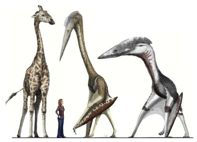 Hatzegopteryx, à droite, plus petit mais plus trapu que le gracile Arambourgiania, à sa gauche, serait aujourd'hui un prédateur particulièrement imposant, surtout pour un animal capable de voler. © Mark Witton