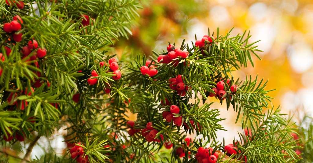 Ces fruits rouges, qui sont les baies de l'if, sont très toxiques. © Ariene Studio, Shutterstock