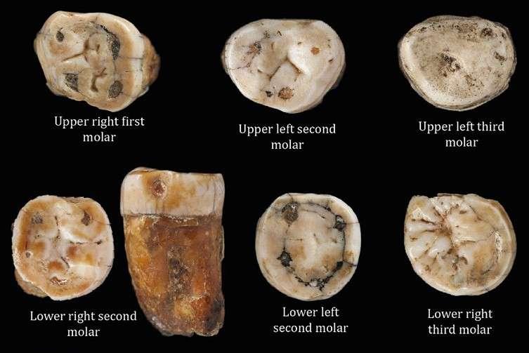 Quelques unes des dents prélevées dans la grotte de la Cotte St-Brélade sur l'île de Jersey. En haut, de gauche à droite : première molaire droite de la mâchoire supérieure, seconde molaire gauche de la mâchoire supérieure, troisième molaire gauche de la mâchoire supérieure. En bas : de gauche à droite : seconde molaire droite de la mâchoire inférieure, deuxième molaire gauche de la mâchoire inférieure et troisième molaire droite de la mâchoire inférieure. © Tim Comptom et al., Journal of Human Evolution