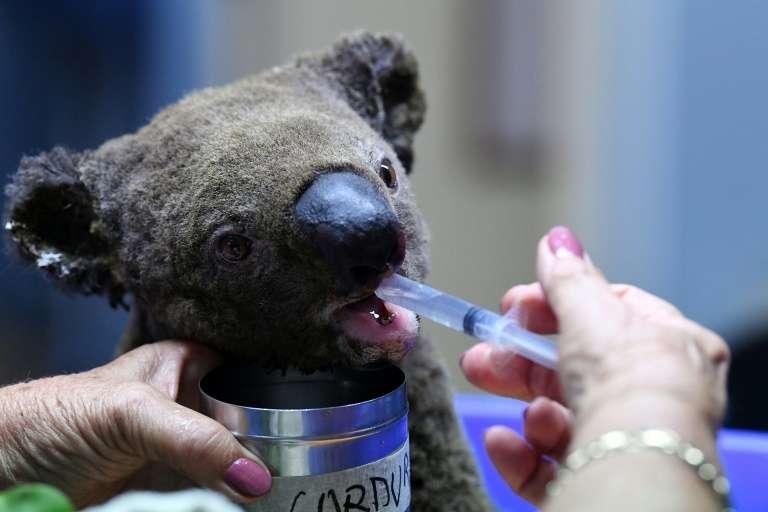 Les koalas sont particulièrement touchés parce qu'ils vivent dans les arbres, se nourrissent uniquement de certains types d'eucalyptus et ne peuvent pas s'échapper rapidement des flammes. © Saeed Khan, AFP Archives
