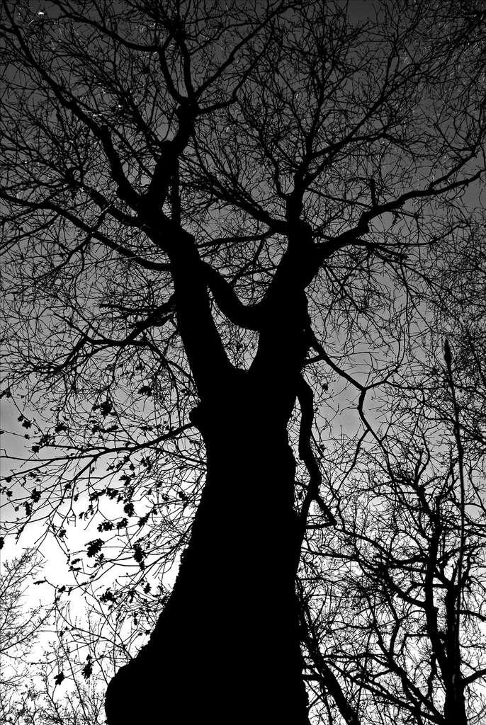 Le tronc du chêne pubescent est souvent tourmenté. © remuz, Flickr CC 3.0 unported