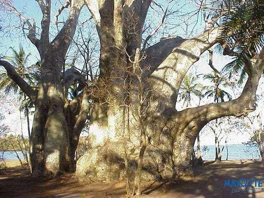 Imposant baobab à Mayotte