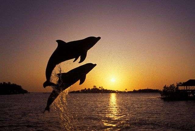 Grands dauphins au clair de lune. © Zest-pk, CCA 2.0 Generic license