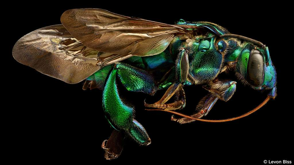 Exaerete frontalis, l'étonnante abeille coucou
