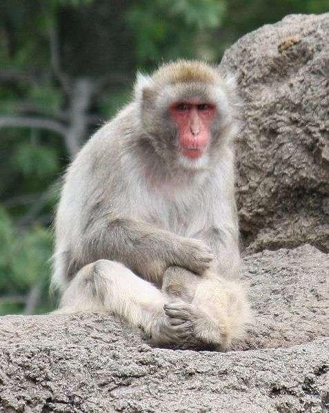 Macaque japonais. © Ltshears, CC by-SA 3.0