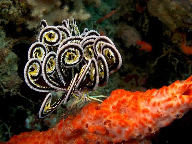 Une plongée sous-marine à la découverte des comatules