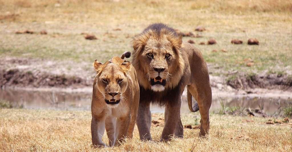Les lions du Parc National d'Etosha. © Poinger Herzschlog, CCO