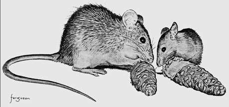 Extrait de : Cultural transmission of feeding behaviour in the black rat (Rattus rattus) par Joseph Terkel. In : Social learning in animals : the roots of the culture. Academic Press, 1994